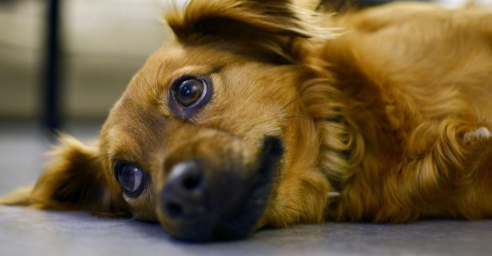 Overwhelmed dog